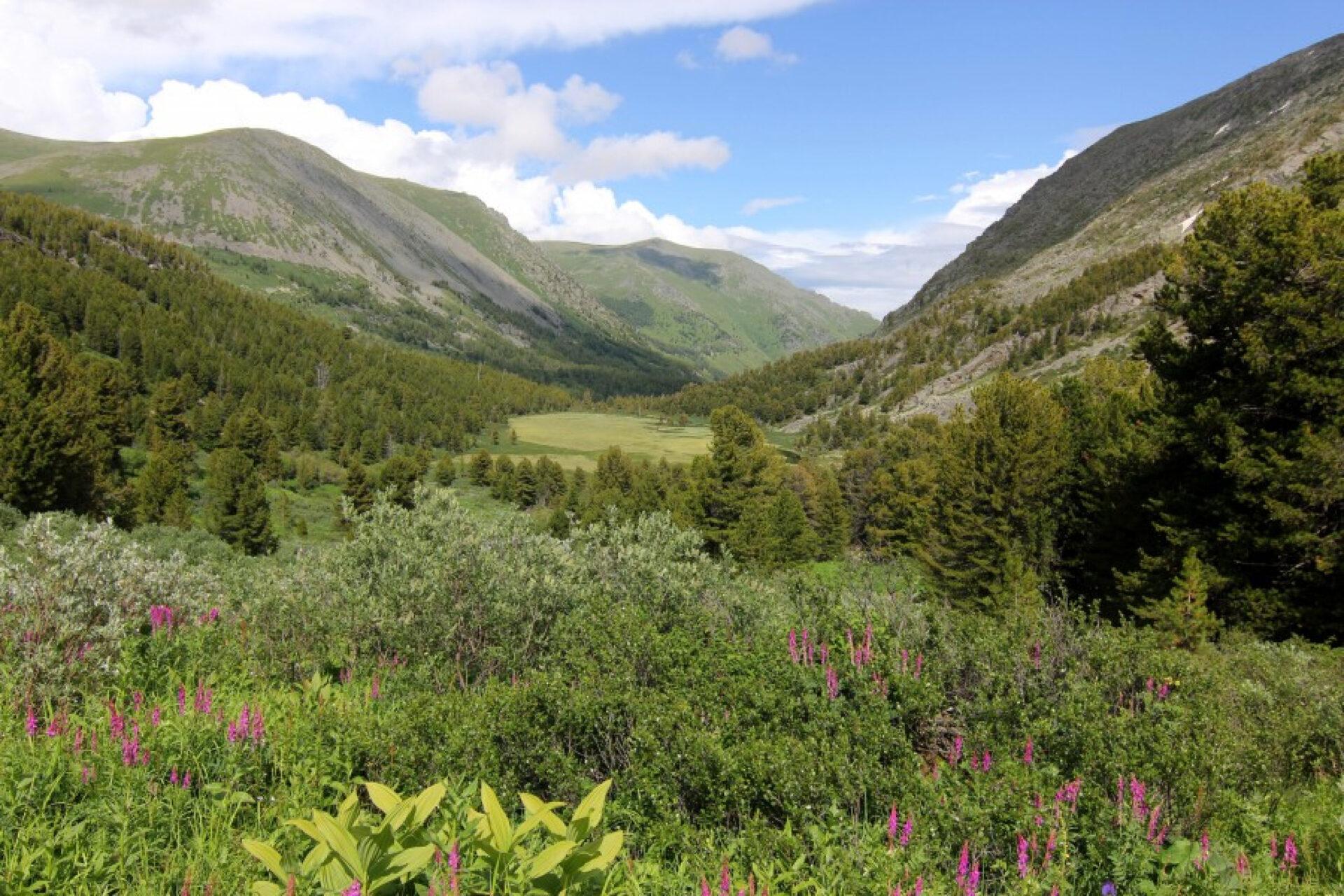 Цветы Алтайских гор
